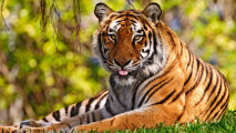 3D Tiger Animals Wallpapers HD Picture Image Free