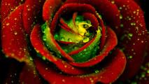 Rose Flowers Photo Fanpop Fanclubs