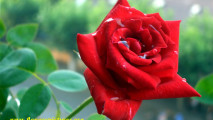 Red Rose Pictures Meaning Of Red Rose Flowers