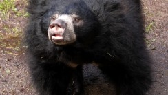 Sloth Bear  Black Bear Animal Legend Photo Picture