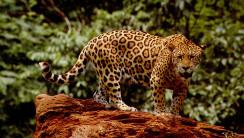 This Jaguar Image Click Image To Zoom Image In Original