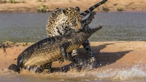 Animal Photos Jaguar Fight With Crocodile At Lake