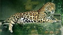 Jaguar Animal Picture HD Wallpaper Free Download