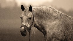 Black And White Photo Picture Horse Animal Gallery