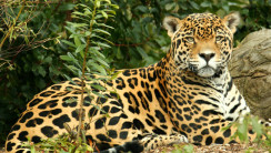 Jaguar Photo Gallery Or Photos Of Jaguars Animal
