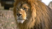 Animal Lion Pictures HD Wallpapers Images Photos