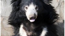 Sloth Bear Squint At The Sun By OrangeRoom On deviantART