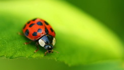 Beautiful Ladybugs Macro Photography HD Wallpaper Desktop