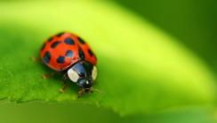 Beautiful Ladybugs Macro Photography HD Wallpaper Desktop