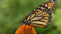Butterfly Animal High Quality In High Definition Wallpaper Photo