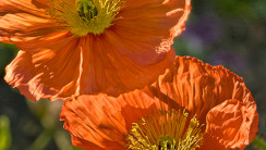 Beautiful Oriental Poppy Flowers View Photo Picture Collection
