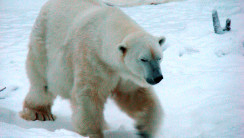 Polar Bears Animal High Quality In High Definition Wallpapers