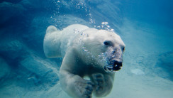 Awesome Cool Polar Bear Swimming Animal Photo Picture Image