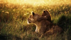 Full View And Free Download Animal Cubs Lion Image For PC Desktop