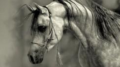 Grey Arabian stallion wallpaper