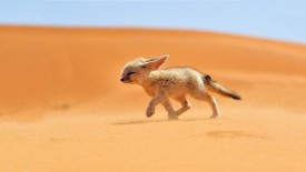 Desert  Fennec Fox HD Wallpaper