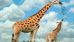 Mother Giraffe and Baby Wallpaper