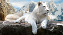 White Lion HD Wallpaper