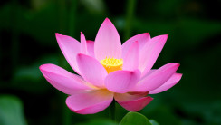 Blooming Pink Lotus HD Wallpaper