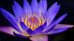 Blue Water Lily HD Wallpaper
