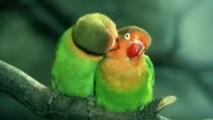 Peach Faced Love Birds HD Wallpaper