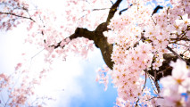 Pink Sakura Flowers HD Wallpaper