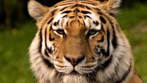 Tiger HD Wallpaper