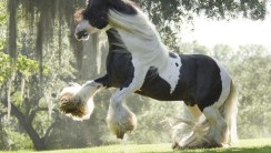 Clydesdale Horse HD Wallpaper