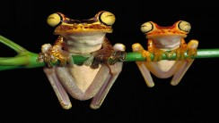 Tree Frogs HD Wallpaper