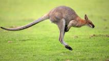 Kangaroo HD Wallpaper