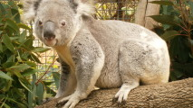 Koala Bear HD Wallpaper