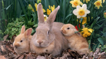 Mother Rabbit with Babies HD Wallpaper
