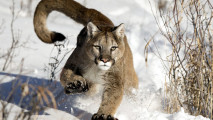 Mountain Lion Running in the Snow HD Wallpaper