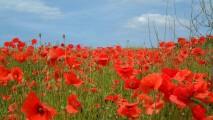 Red Poppy Field HD Wallpaper