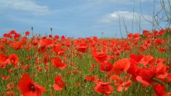 Red Poppy Field HD Wallpaper