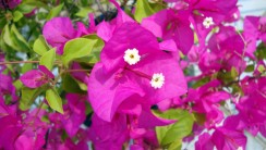 Purple Bougainvillea HD Wallpaper