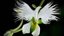 White Orchid HD Wallpaper