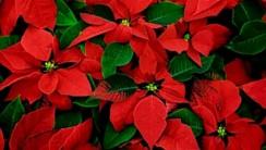Poinsettias HD Wallpaper