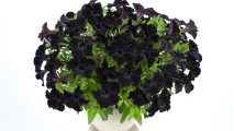 Black Petunia HD Wallpaper