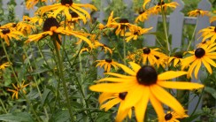 Black Eyed Susan HD Wallpaper