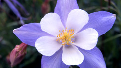 Blue and White Colorado Columbine HD Wallpaper