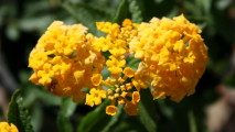 Gold Lantana Flower HD Wallpaper