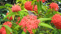 Ixora Flower HD Wallpaper