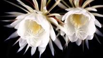 Kadupul Flower HD Wallpaper