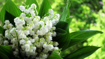 Lily of the Valley HD Wallpaper