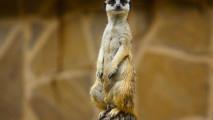 Meerkat on a Limb HD Wallpaper