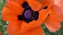 Orange Oriental Poppy Flower HD Wallpaper