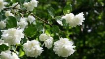 White Jasmine HD Wallpaper