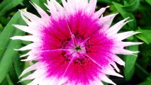 White and Pink Dianthus HD Wallpaper