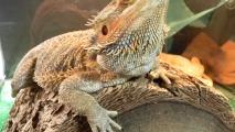 Australian Bearded Dragon HD Wallpaper